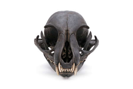 Close-up of a cat skull grin isolated on a white background.