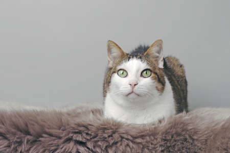 Cute tabby cat laying down on the blanket and looking at camera. Horizontal image with copy space.