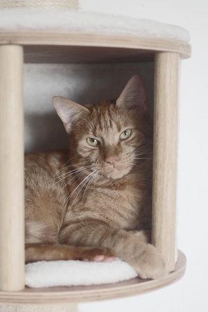 Cute red cat resting in a pet cave.