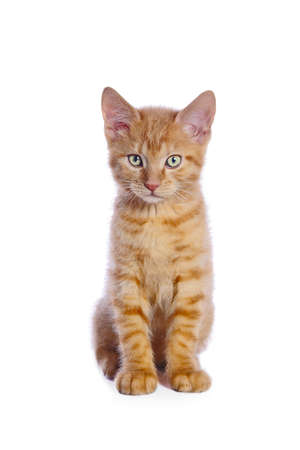 Cute little red kitten sitting and looking straight at camera. Isolated on white background.