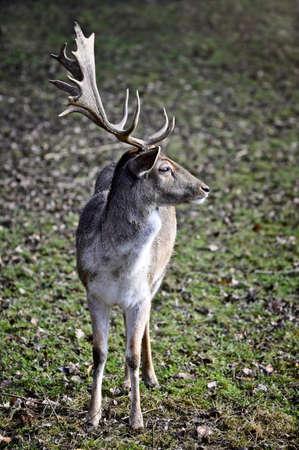 Young fallow deer Cervus dama, Germany, Europe.