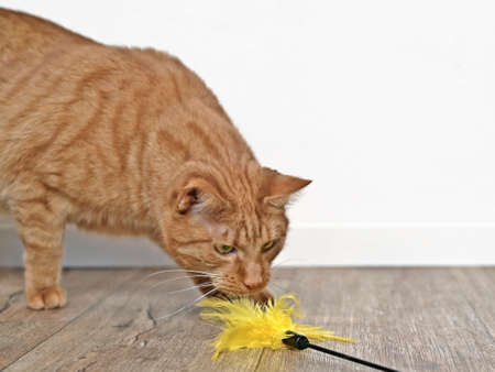 Cute ginger cat playing with a feather cat toy. Standard-Bild