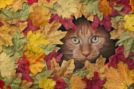 Cute ginger cat looking through a hole in colorful autumn leaves. Standard-Bild