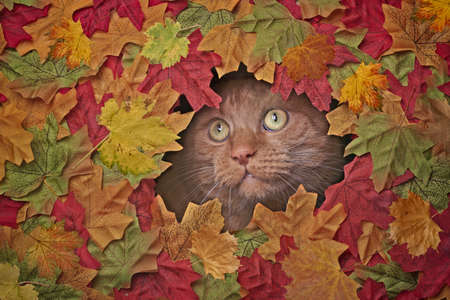 Cute red cat looking funny out of a hole in colorful autumn leaves.