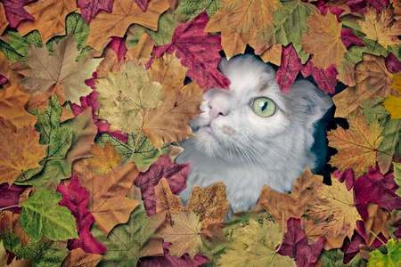 Cute longhair cat looking funny out of a hole in colorful autumn leaves.