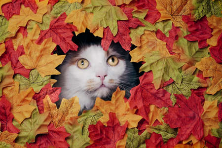 Cute tabby cat looking through a hole in the colorful autumn decoration.