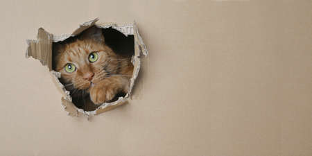 Funny ginger cat looking curious out of a hole in a cardboard box. Panoramic image with copy space.