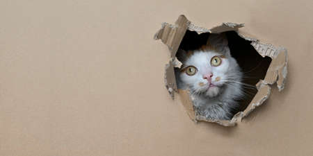 Funny tabby cat looking curious out of a hole in a cardboard box. Panoramic image with copy space.