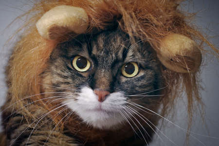 Close up portrait of a maine coon cat in lion costume looking directly at camera. Standard-Bild