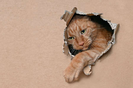 Cute red cat looking curious out of a hole in a cardboard box. Horizontal image with copy space.