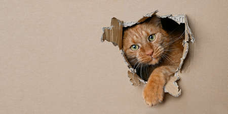 Funny ginger cat sitting in a cardboard box and looking curious through a hole. Panoramic image with copy space.