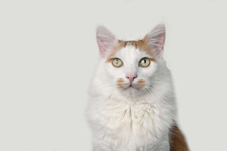 Close-up portrait of longhair cat Isolated on gray background.