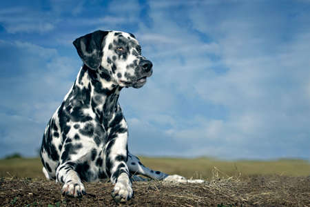 Dalmatian dog sits in the meadow against a blue sky.