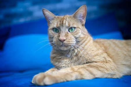 Close-up of ginger cat relaxing on a blue sofa. Standard-Bild