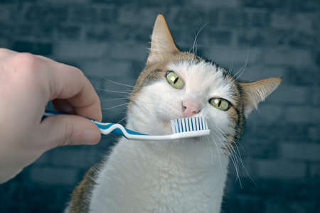 Cute tabby cat getting her teeth brushed by her owner.