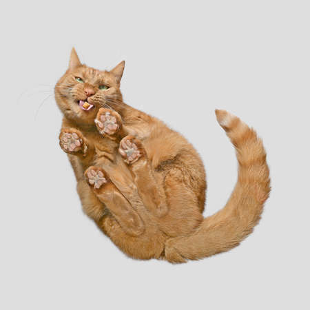 Bottom view of funny ginger cat eating treats.