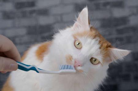Cute longhair cat getting her teeth brushed by her owner.