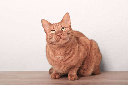 Cute ginger cat sitting on the floor and looks up curiously. Standard-Bild