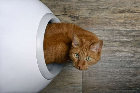 Cute red cat looking curious out of a self-cleaning litter box, seen directly from above.