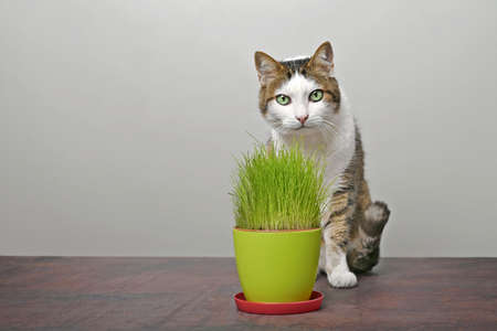 Cute tabby cat sitting beside a pot of cat grass and looking at camera.