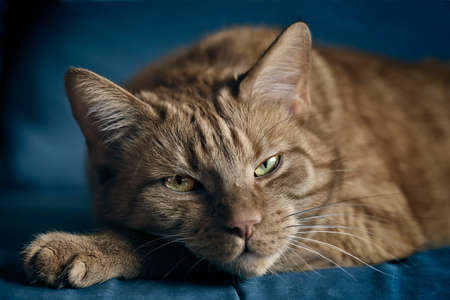 Close-up of cute red cat relaxing on a blue sofa. Standard-Bild