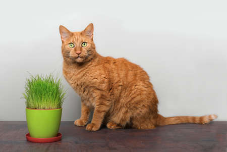 Cute ginger cat sitting beside a pot of cat grass and looking at camera.