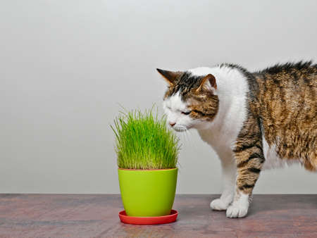 Cute aged cat loking curious to a pot of cat grass.
