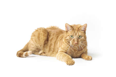 Curious ginger cat lying down and looking at camera. Isolatet on white background. Standard-Bild