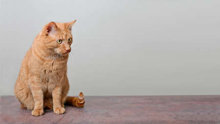 Cute red cat looking curious sideways. Panoramic image with copy space.