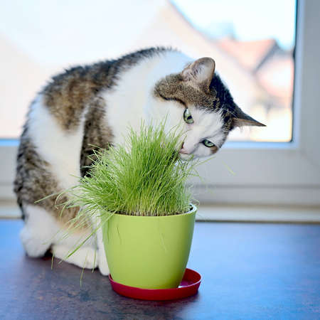 Portrait of a tabby cat eating green cat grass in a pot.Square image with selective focus. Standard-Bild