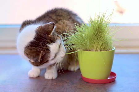 Cute tabby cat eating green cat grass in a pot.Horizontal image with selective focus.
