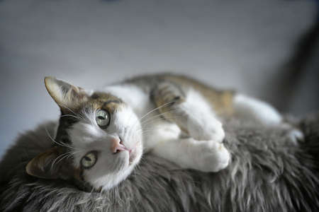 Cute tabby cat lying on fleece and looking at camera.
