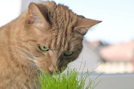 Portrait of domestic red cat eating green cat grass in a pot at the window sill.