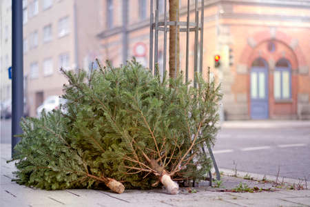 Discarded old christmas trees after the holiday on the sidewalk.