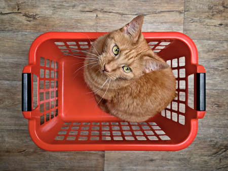 Cute ginger cat sitting in a red laundry basket and looking curious to the camera, seen directly from above.