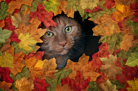 Cute red cat looking curious out of a hole in colorful autumn leaves.