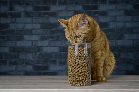 Red cat stealing dry cat food in storage jar. Horizontal image with copy space.