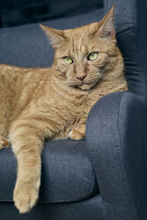 Close-up of cute ginger cat relaxing on a sofa. Vertical image with selective focus.
