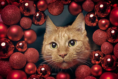 Cute ginger cat peeking curious through a red Christmas wreath. Horizontal image with selective focus.