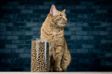 Ginger cat sitting beside dry cat food in storage jar. Horizontal image with copy space.