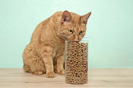 Cute red cat eating dry cat food in storage jar on the table.
