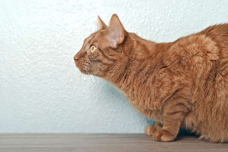 Side profile of a ginger cat looking curious aside.