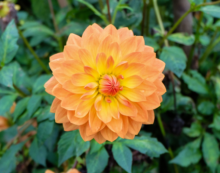 beautifully blooming dahlia (dalia) flower with petals in color tones from peach  pastel ranging to red, orange and yellow