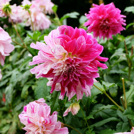 a pink, magenta and white colored dahlia (dalia) flower in a garden with other dahlias of similar colors