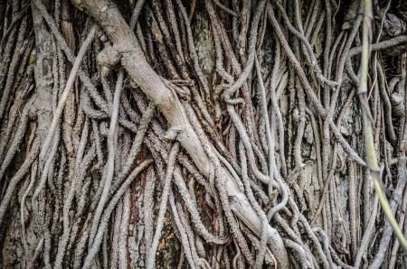 liana: Liana plant creeping cover on the tree