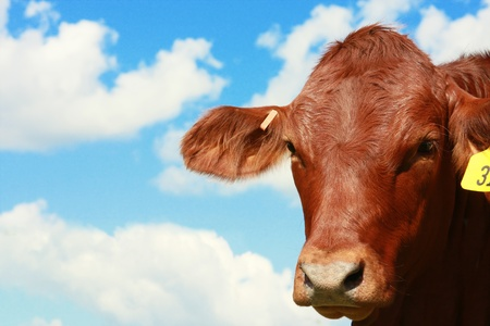 red heifer: Cow