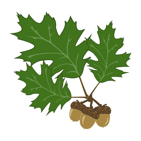 three leaves: Acorns Illustration