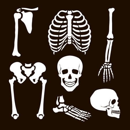 scheletro umano: Collezione Scheletro Umano set illustrazione bianco Vettoriali