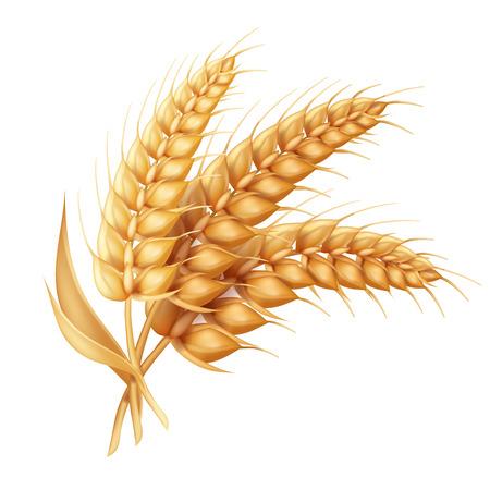 Oreja de cebada con hojas aisladas realistas. Icono de vector de trigo
