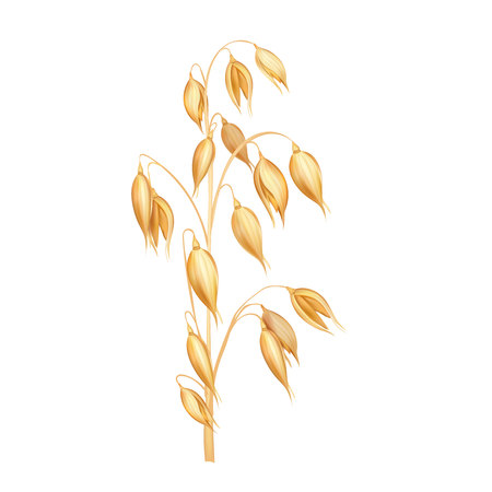Oat spikelet realistic vector illustration isolated on white background Illustration